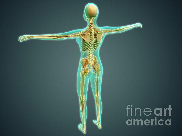 Jugular Veins Digital Art - Human Body Showing Skeletal System by Stocktrek Images