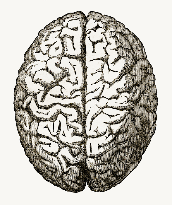 Human Brain Isolated On White Engraved Illustration, Circa 1880 Drawing by Bauhaus1000