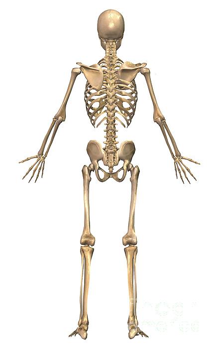 Vertical Digital Art - Human Skeletal System, Back View by Stocktrek Images