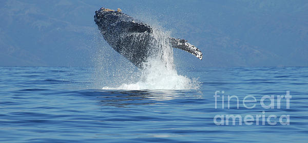 Whales Photograph - Humpback Whale Breaching by Bob Christopher