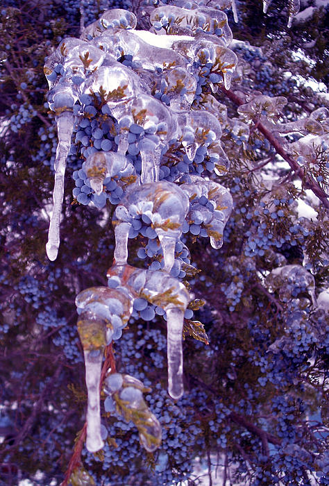 Ice Photograph - Ice In Purple by R McLellan