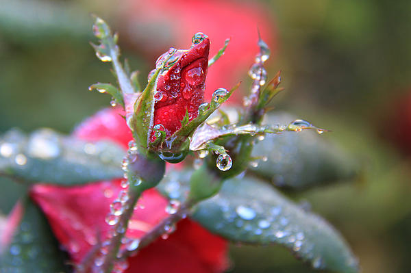 Icy Red Garden Rosebud Photograph - Ice Roses by Leslie Kirk