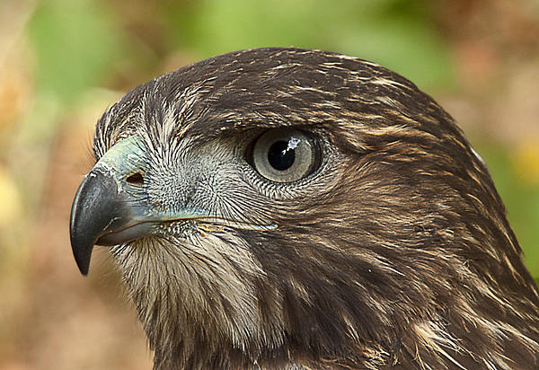 Red-tailed Hawk Photograph - Im Watching You by Randy Hall