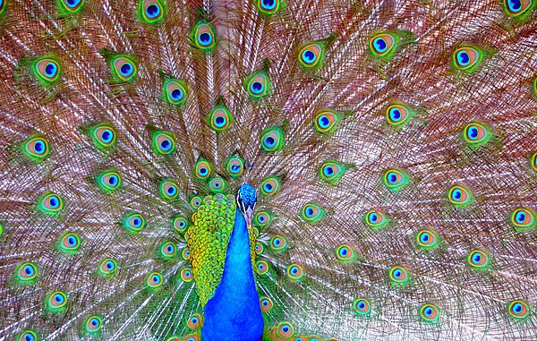 Peacock Photograph - Indian Peacock by Deena Stoddard