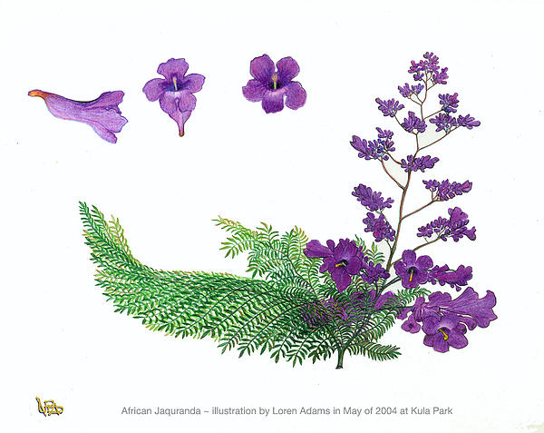 Jacaranda Branch And Blossoms Drawing by Loren Adams
