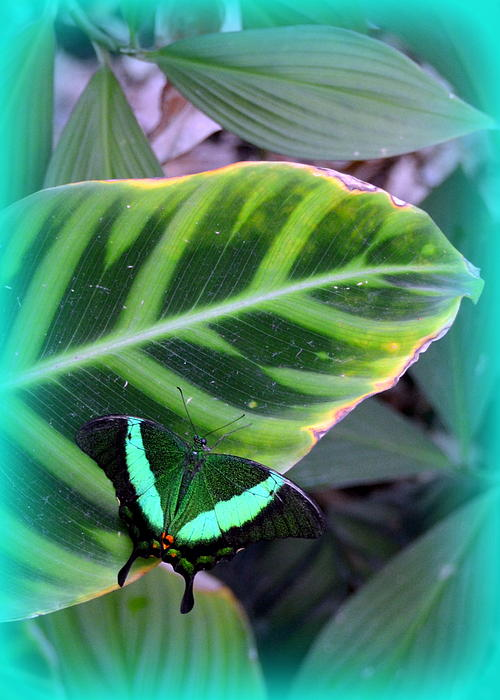 Butterfly Photograph - Jade Butterfly With Vignette by Carla Parris