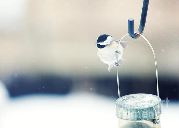 Black-capped Chickadee Photograph - Just Hold On by Kay Pickens