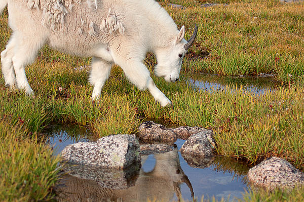 Mountain Goats Photograph - Just Passing By by Jim Garrison