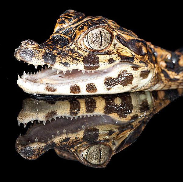 Alligator Photograph - Juvenile Cayman by Dirk Ercken