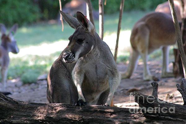Kangaroo Photograph - Kangaroo-2 by Gary Gingrich Galleries