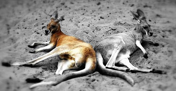 Love Photograph - Kangaroo Heart by Andrew Connolly