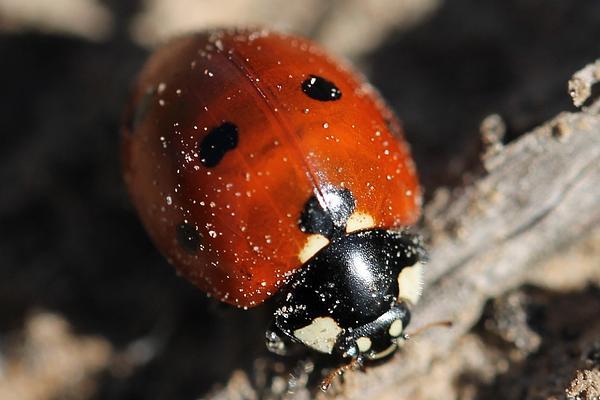 Ladybug Photograph - Ladybug by Lorri Crossno