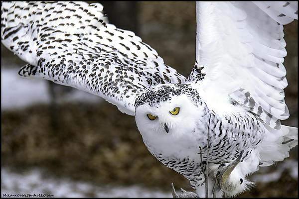 Usa Photograph - Landing Of The Snowy Owl Where Are You Harry Potter by LeeAnn McLaneGoetz McLaneGoetzStudioLLCcom