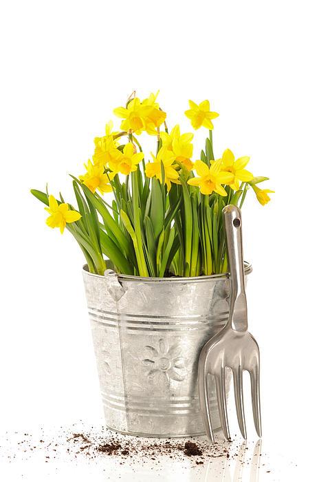 Spring Photograph - Large Bucket Of Daffodils by Amanda Elwell