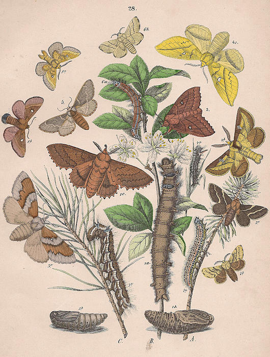 Butterfly Drawing - Lasiocampa by W Kirby