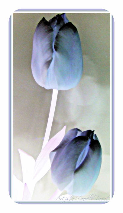Closeups Photograph - Lavender Tulips by Danielle  Parent