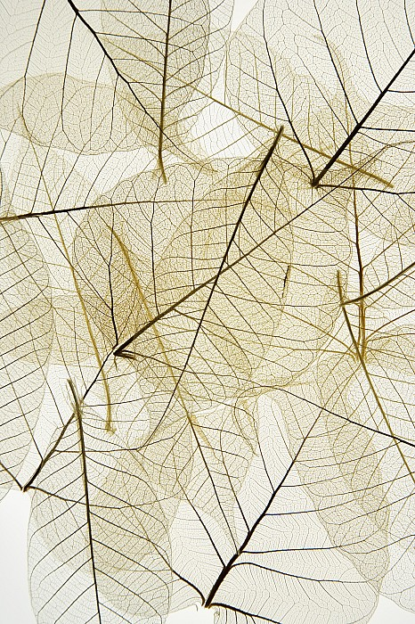 Delicate Photograph - Layered Leaves by Kelly Redinger