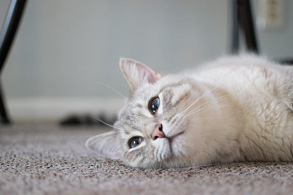 Cat Photograph - Lazy Day by Matt Radcliffe