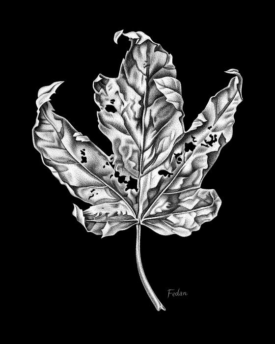 Leaf Drawing - Leaf by David Fedan