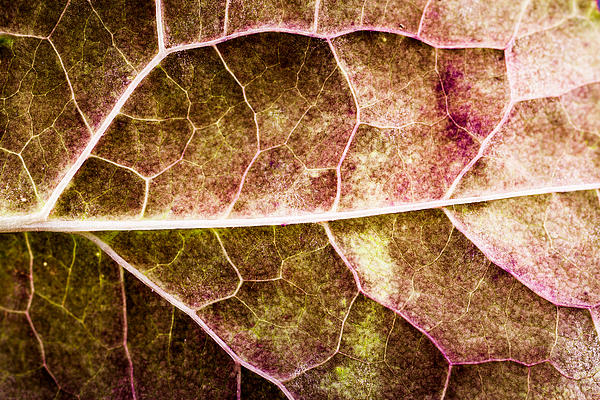 Abstract Photograph - Leaf Lines by Christine Smart