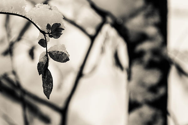 Baum Photograph - Leaves And Snow by Andreas Levi