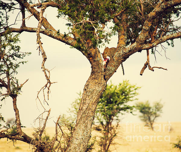 Leopard Photograph - Leopard Eating His Victim On A Tree In Tanzania by Michal Bednarek