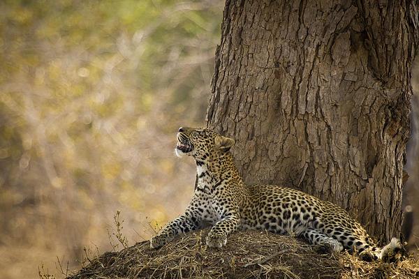 Leopard Photograph - Leopard Gazing Up by Alison Buttigieg