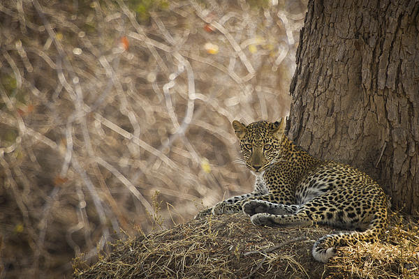 Leopard Photograph - Leopard In Its Environment by Alison Buttigieg