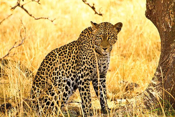 Africa Pyrography - Leopard by Kongsak Sumano
