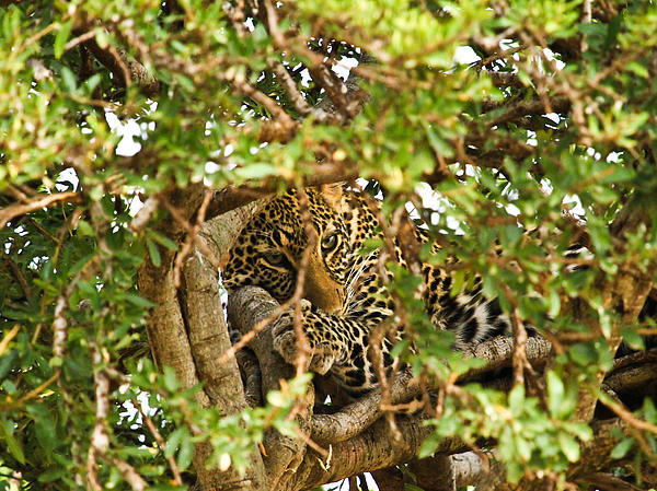 Africa Pyrography - Leopard On Tree by Kongsak Sumano