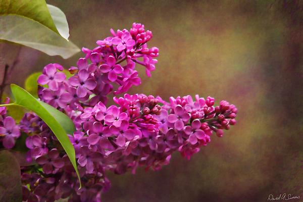 Lilacs Photograph - Lilacs by David Simons
