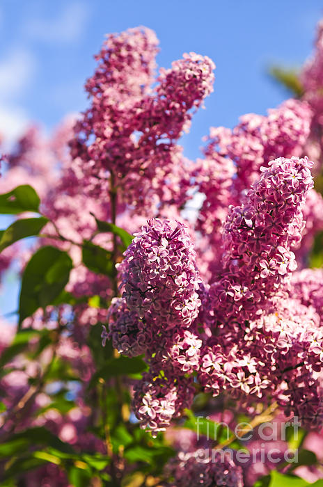 Lilac Photograph - Lilacs by Elena Elisseeva