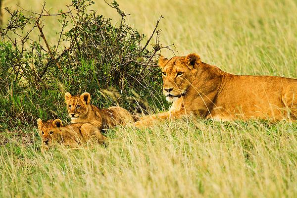 Africa Pyrography - Lion Family by Kongsak Sumano