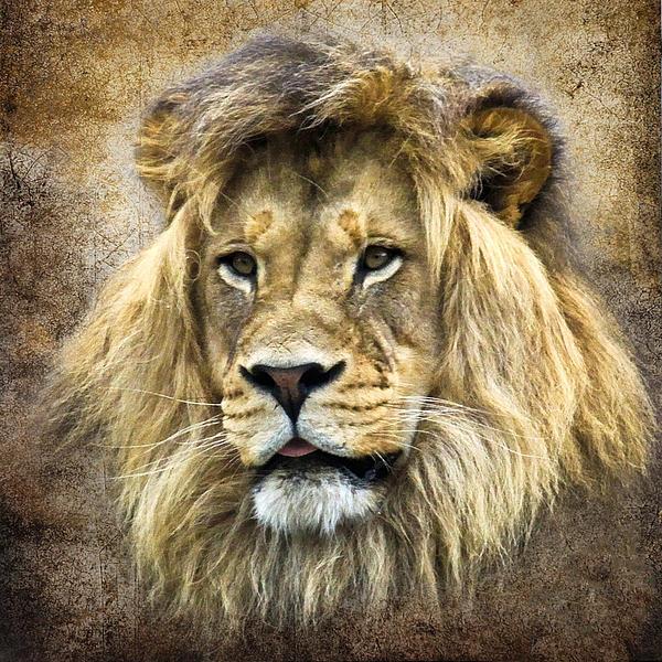 Wildlife Photograph - Lion King by Steve McKinzie