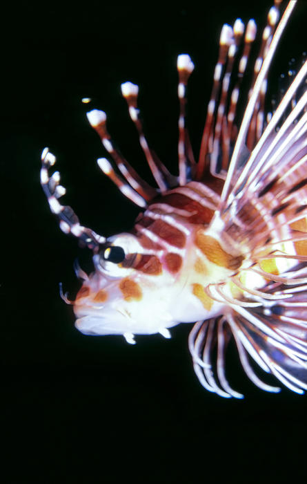 Micronesia Photograph - Lionfish 3 by Dawn Eshelman