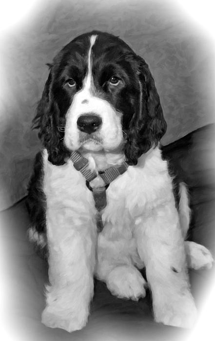 Spaniel Photograph - Little Boy Blue Oil Bw by Steve Harrington