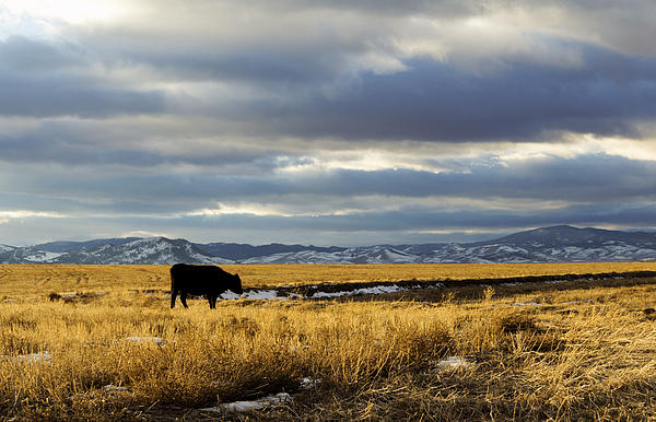 Cows Photograph - Lone Cow Against A Stormy Montana Sky. by Dana Moyer