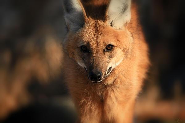 Maned Wolf Photograph - Looks Like A Fox by Karol Livote