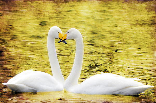 Beautiful Photograph - Loving Swans by Tommytechno Sweden