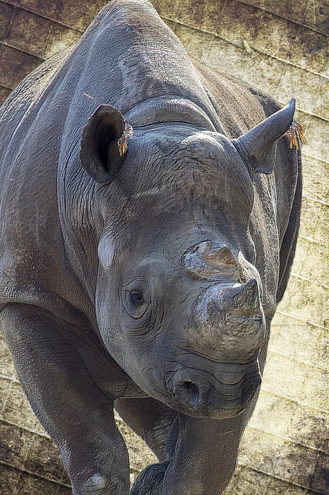 Black Rhinoceros Photograph - Lurching Rhino by Bill Tiepelman