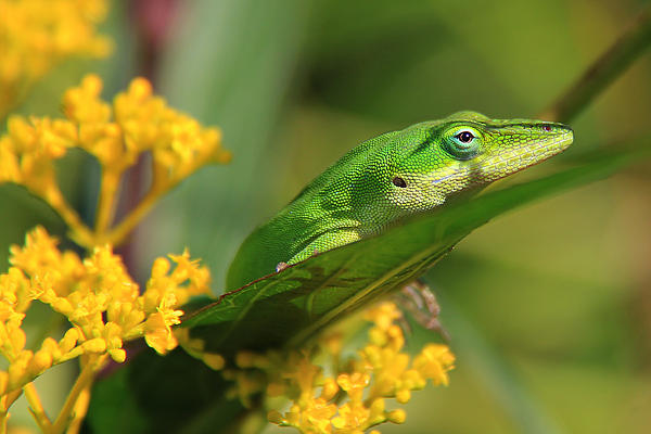 Anole Lizard Yellow Flowers Photograph - Lurking by Leslie Kirk