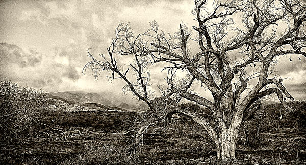 Shoe Tree Photograph - Magnificent Shoe Tree Near San Felipe Road by Ron Regalado