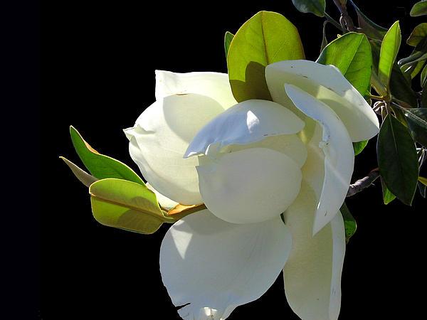 Blossom Photograph - Magnolia Blossom by Ginny Schmidt