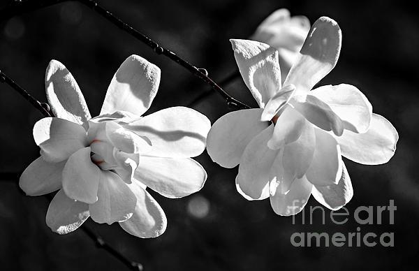 Magnolia Photograph - Magnolia Flowers by Elena Elisseeva