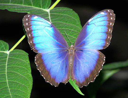 Butterflies Photograph - Majestic Blue Morpho by Noreen HaCohen