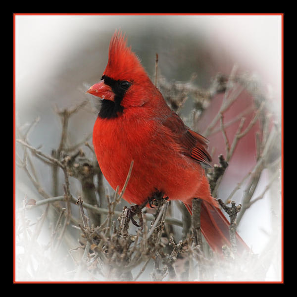 Cardinal Photograph - Male Northern Cardinal by John Kunze