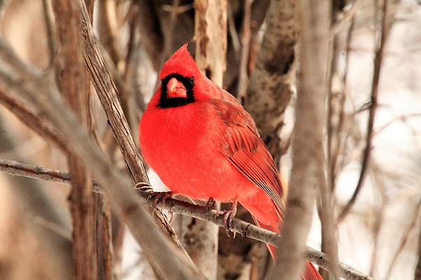 Cardinal Photograph - Male Northern Cardinal by Michael Allen