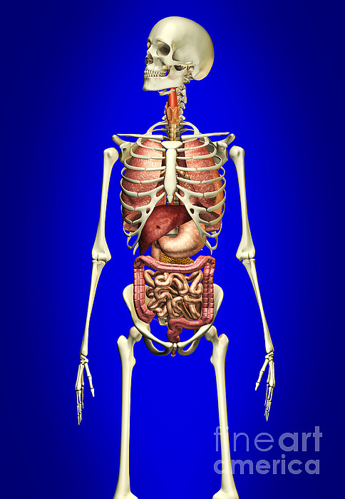 Three Dimensional Digital Art - Male Skeleton With Internal Organs by Leonello Calvetti