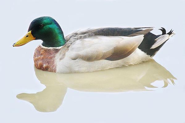 Duck Photograph - Mallard Duck by Paulette Thomas