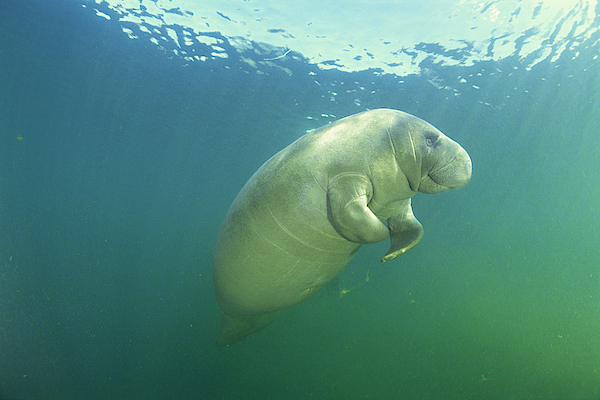 Manatee Photograph by Comstock Images